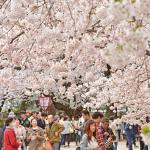 青森 弘前さくらまつり23日,開幕どっと30万人 in Aomori 2016