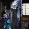 青森・大間の漁師たち「築地マグロ初競り」での日本一狙い出漁!