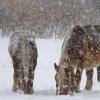 青森・東通村: 極寒に耐える「尻屋崎の寒立馬」の姿には感動します!