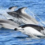 「陸奥湾のカマイルカ」船上で観察会!30頭のカマイルカを発見!