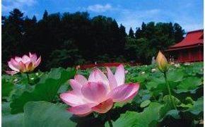 青森県平川市猿賀公園「蓮の花まつり2019」:7月20日~28日